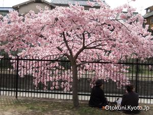 淀の河津桜でお花見