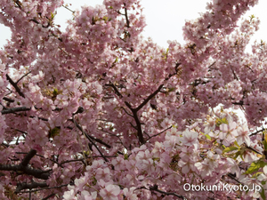 淀の河津桜の咲き具合はまちまち