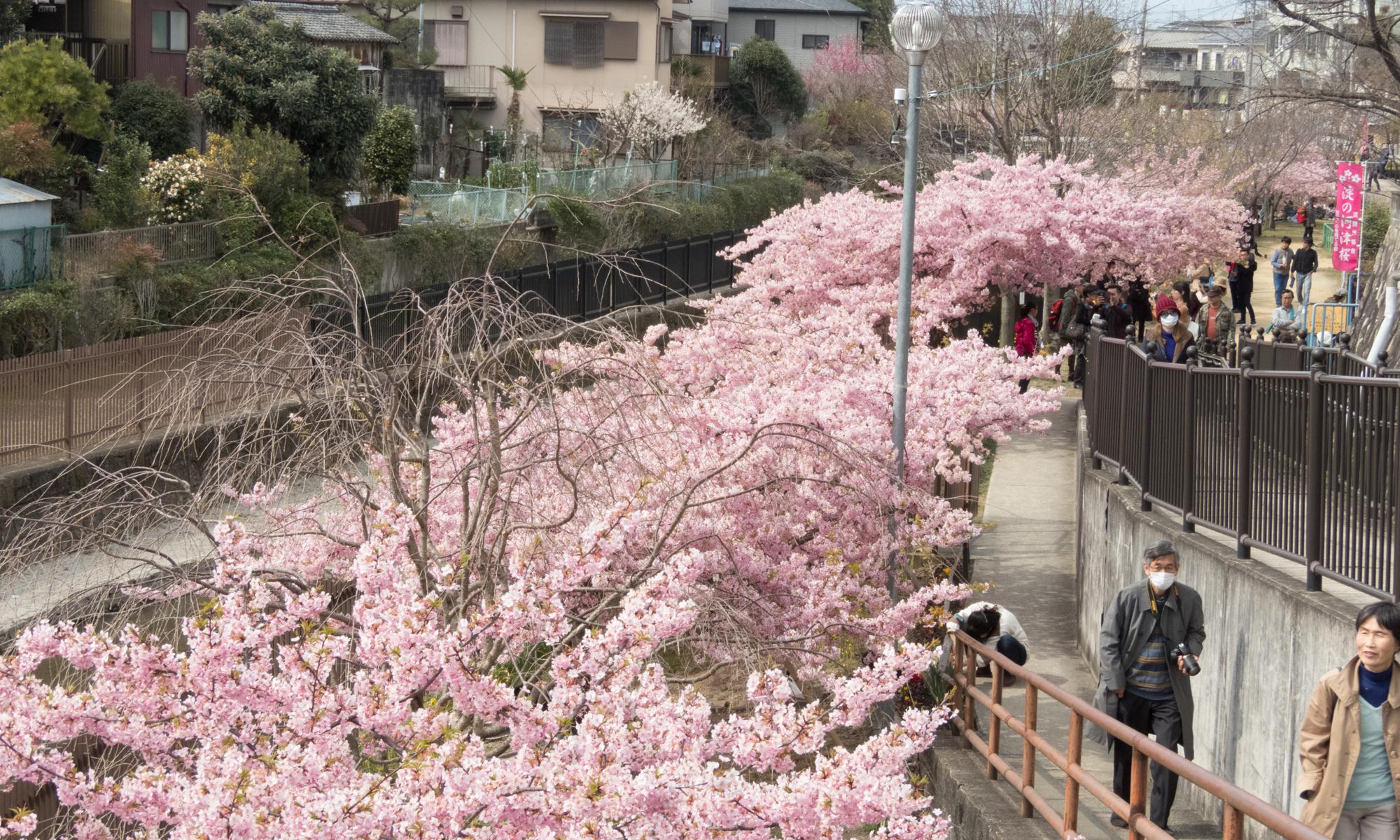 淀の河津桜は満開or葉桜