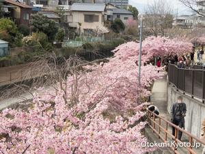 淀の河津桜は満開